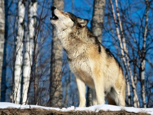 Morning_Howl,_Howling_Wolf[1]